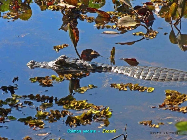tamanoir ou fourmilier géanttamanoir ou fourmilier géant -- tamanduá formigueiro gigantetamanduá formigueiro gigante court...