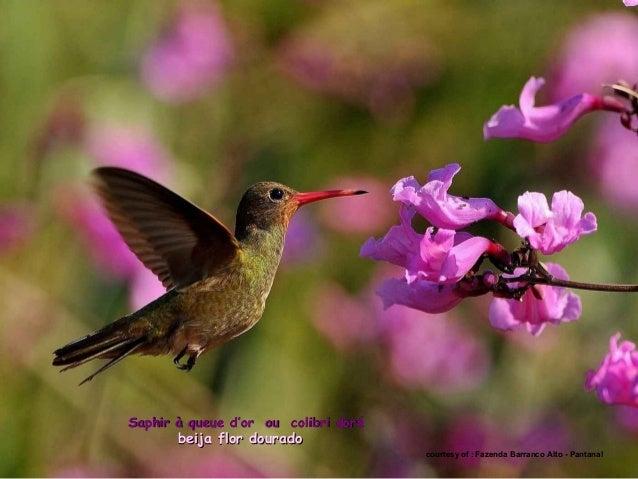 cortesia de : Marcelo Bugre toucan à oreillons roux -toucan à oreillons roux - tucano castanhotucano castanho.