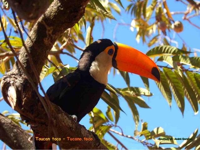 courtesy Toucan à ventre rougeToucan à ventre rouge Tucano de bico verdeTucano de bico verde