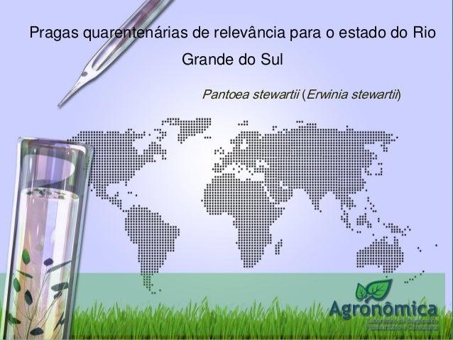 Pragas quarentenárias de relevância para o estado do Rio Grande do Sul  Pantoea stewartii(Erwinia stewartii)