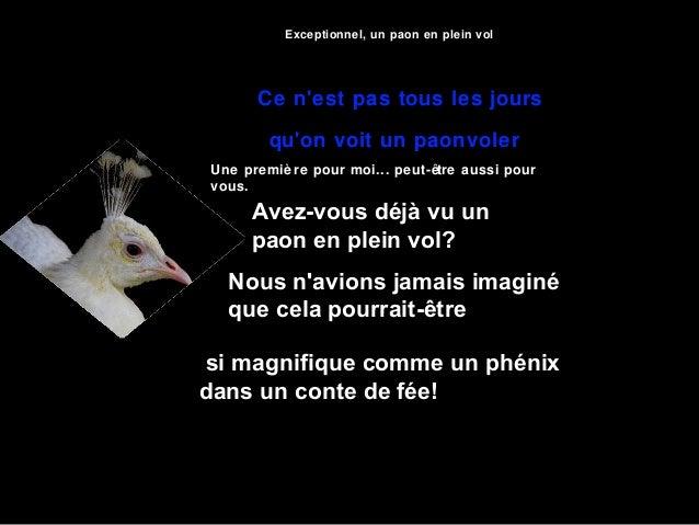 Exceptionnel, un paon en plein vol      Ce nest pas tous les jours        quon voit un paonvolerUne premiè re pour moi... ...
