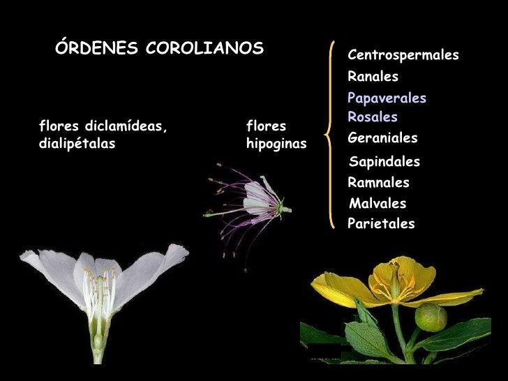 flores diclamídeas, dialipétalas ÓRDENES COROLIANOS flores hipoginas Centrospermales Ranales Papaverales Rosales Geraniale...