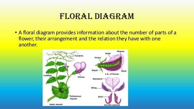 cowpea floral diagram