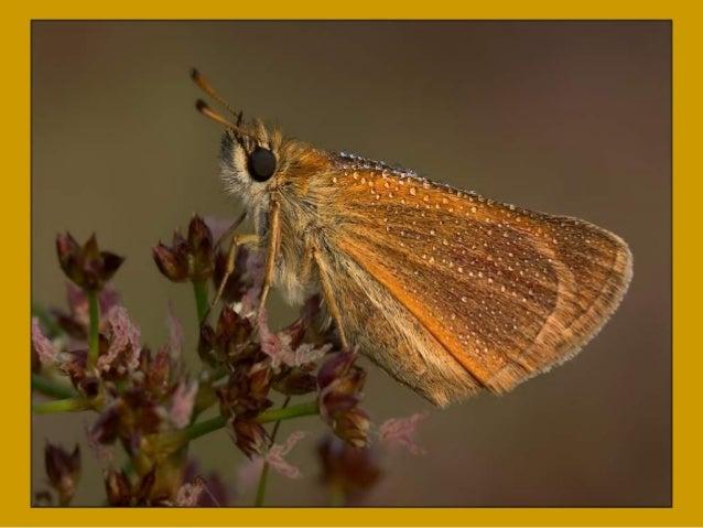 Les Papillon