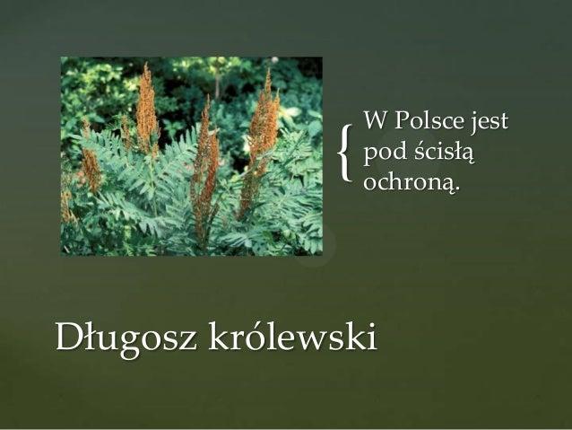 {  W Polsce jest pod ścisłą ochroną.  Długosz królewski