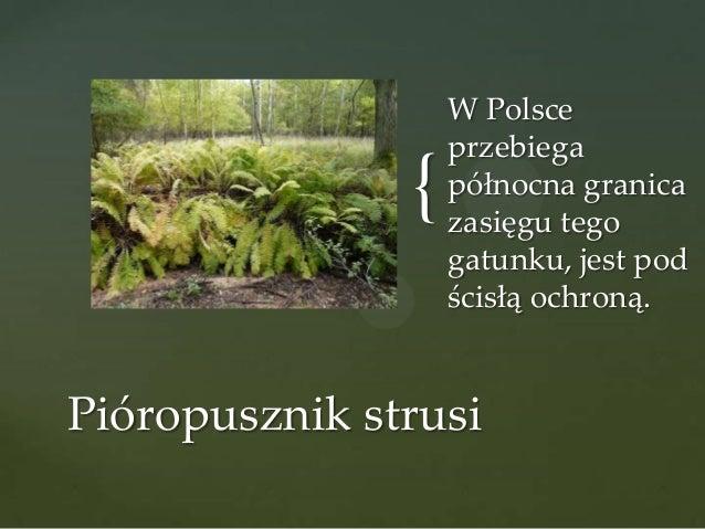 {  W Polsce przebiega północna granica zasięgu tego gatunku, jest pod ścisłą ochroną.  Pióropusznik strusi