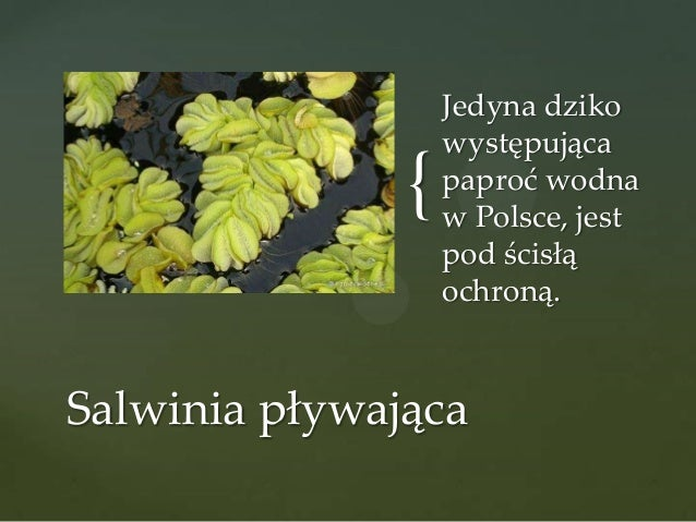 {  Jedyna dziko występująca paproć wodna w Polsce, jest pod ścisłą ochroną.  Salwinia pływająca