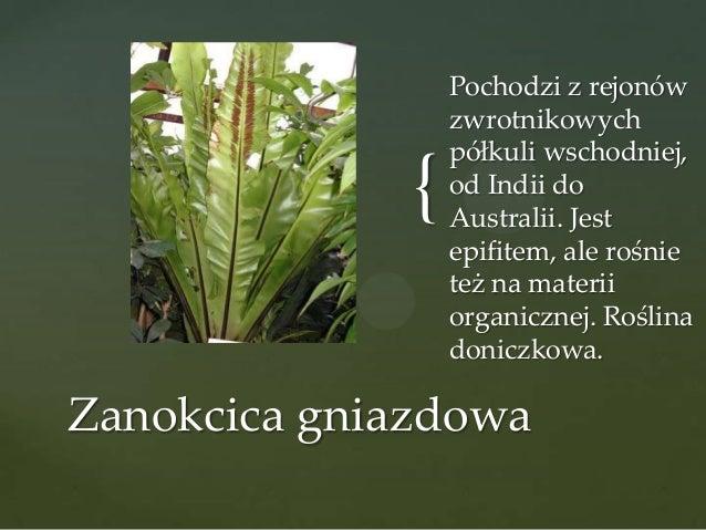 {  Pochodzi z rejonów zwrotnikowych półkuli wschodniej, od Indii do Australii. Jest epifitem, ale rośnie też na materii or...