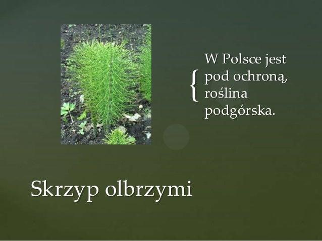{ Skrzyp olbrzymi  W Polsce jest pod ochroną, roślina podgórska.