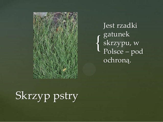 { Skrzyp pstry  Jest rzadki gatunek skrzypu, w Polsce – pod ochroną.