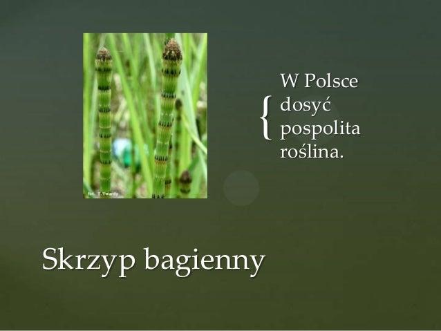 { Skrzyp bagienny  W Polsce dosyć pospolita roślina.