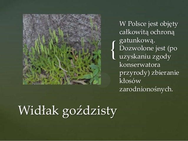 { Widłak goździsty  W Polsce jest objęty całkowitą ochroną gatunkową. Dozwolone jest (po uzyskaniu zgody konserwatora przy...