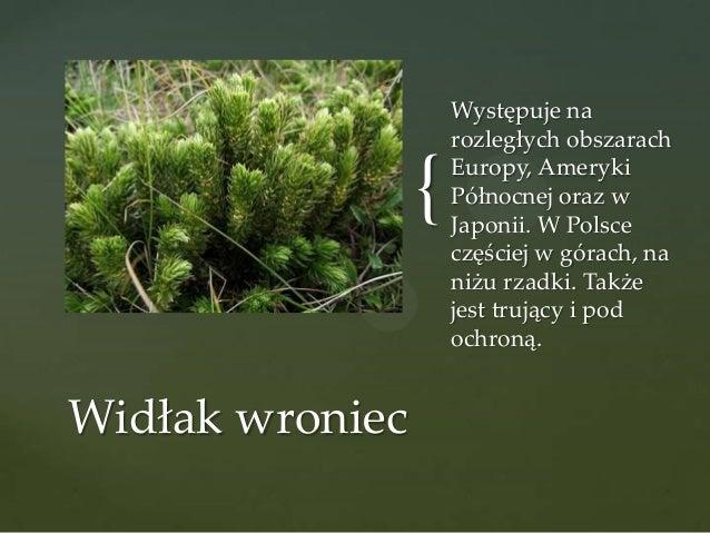 { Widłak wroniec  Występuje na rozległych obszarach Europy, Ameryki Północnej oraz w Japonii. W Polsce częściej w górach, ...
