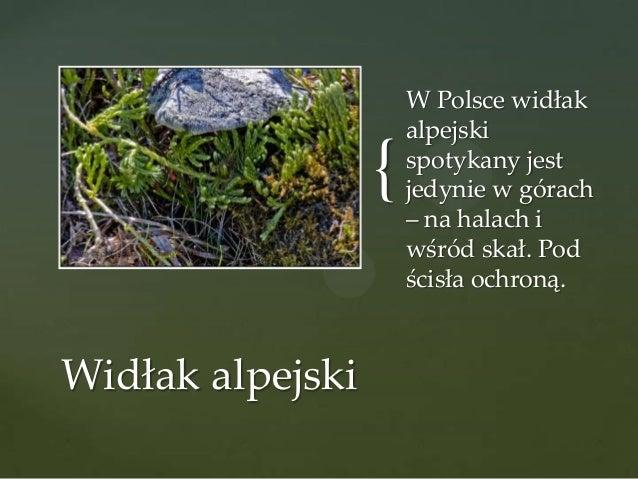 { Widłak alpejski  W Polsce widłak alpejski spotykany jest jedynie w górach – na halach i wśród skał. Pod ścisła ochroną.