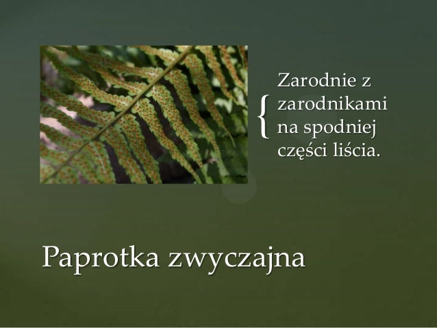 {  Zarodnie z zarodnikami na spodniej części liścia.  Paprotka zwyczajna