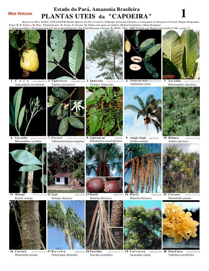 Pará  - plantas uteis [useful plants] da capoeira