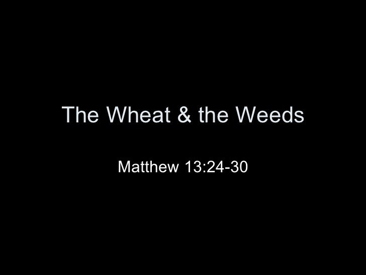 The Wheat & the Weeds Matthew 13:24-30