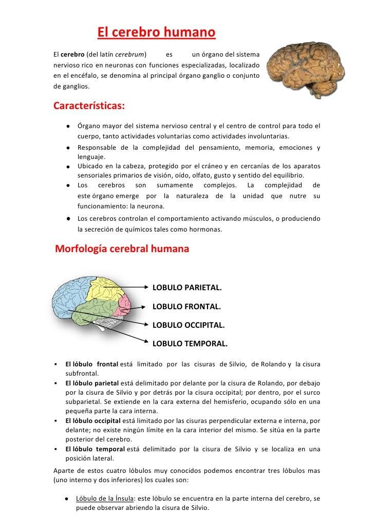 El cerebro humanoEl cerebro (del latín cerebrum)     es       un órgano del sistemanervioso rico en neuronas con funciones...
