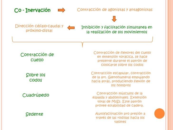 Co - Inervación<br />Contracción de agonistas y antagonistas<br />Dirección céfalo-caudal y próximo-distal<br />Inhibición...