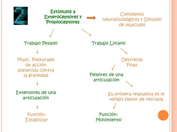 Estímulos a Exteroceptores y Propioceptores <br />Conceptos neurofisiológicos y División de músculos<br />Trabajo Pesado<b...