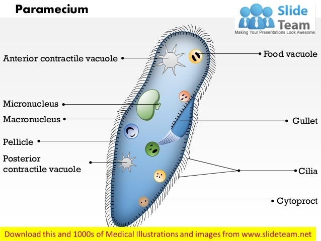 paramecium medical images for power point 1 638