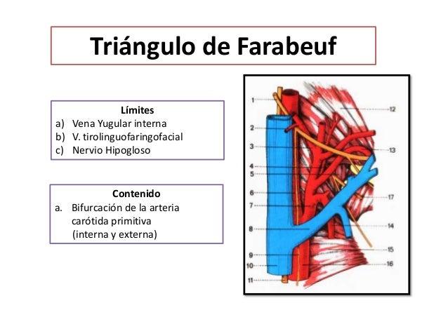 Triangulos Del Cuello Anatomia Epub