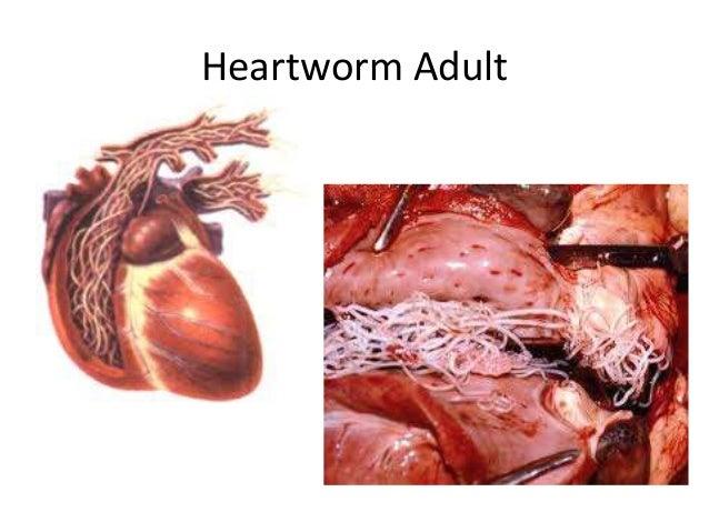 ParasitesOrgansVetTech  Heartworm