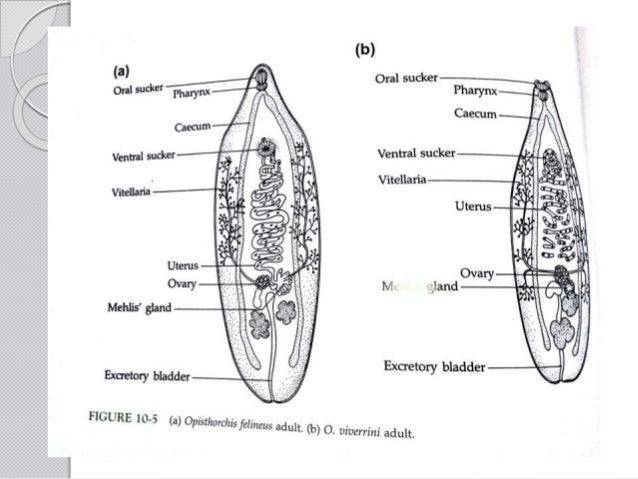 common hepatic duct diagram