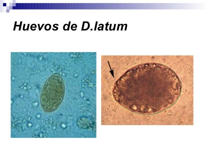 Huevos de D.latum