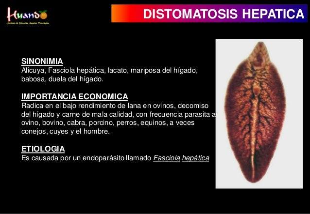Fasciola hepatica en ovinos ppt to pdf