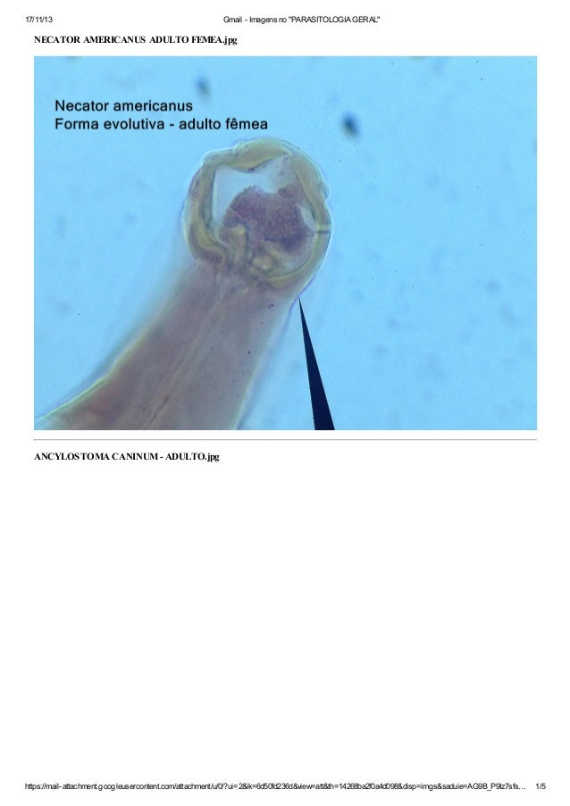 "17/11/13  Gmail - Imagens no ""PARASITOLOGIA GERAL""  NECATOR AMERICANUS ADULTO FEMEA.jpg  ANCYLOSTOMA CANINUM - ADULTO.jpg ..."