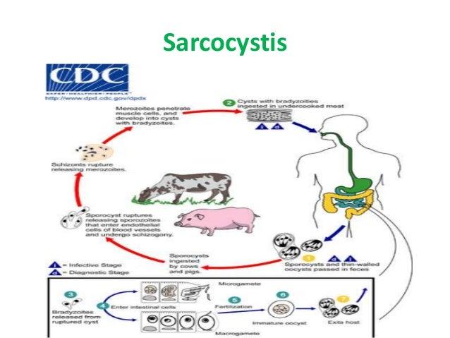 Filarial Worms Life Cycle Acid fast Intestinal p...