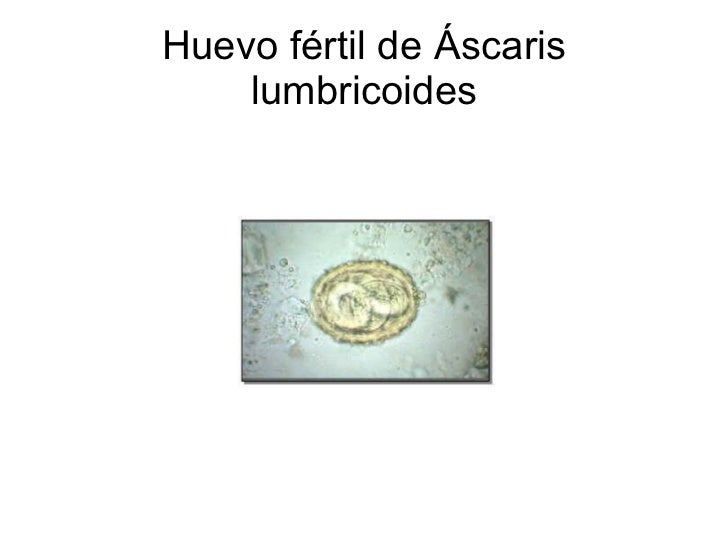 Huevo fértil de Áscaris lumbricoides