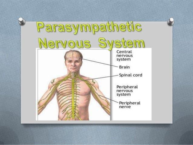 The part of the involuntarynervous system that serves to slow the heart rate, increase    intestinal and glandular     act...