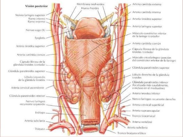 Paratiroides anatomia y fisiologia