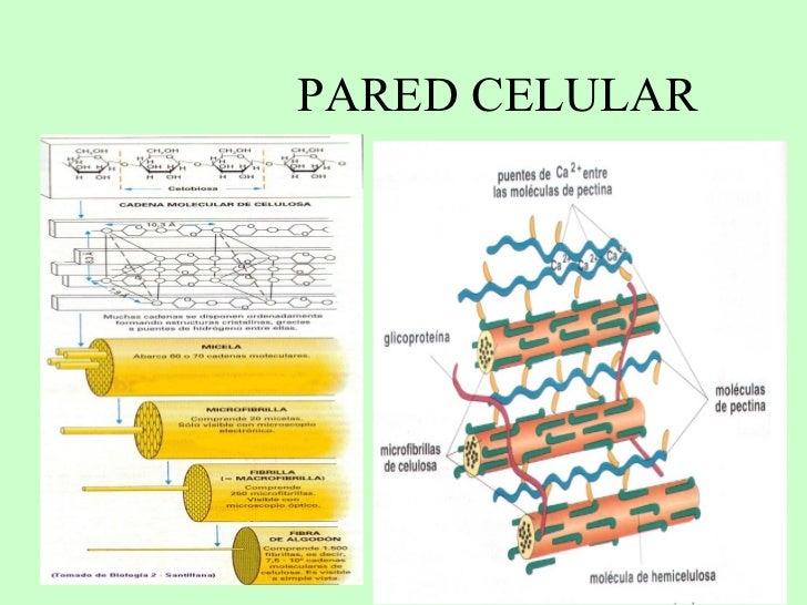 Pared celular for Pared y membrana celular