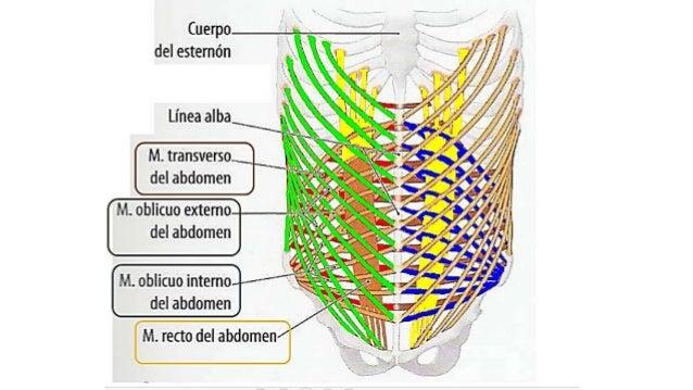 Anatomia Pared Abdominal Completa