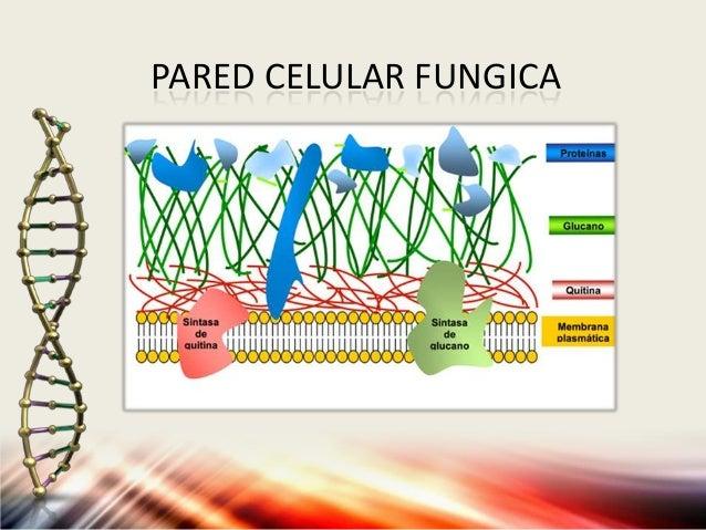 Pared celular y pared fungica for Pared y membrana celular