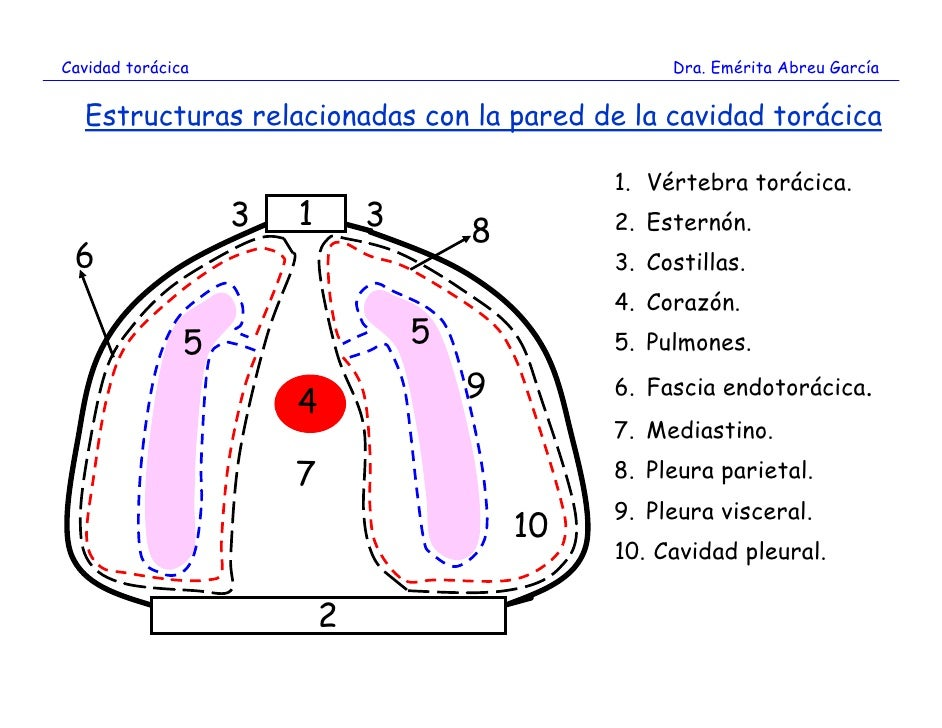 Magnífico Músculos De La Pared Torácica Anatomía Patrón - Imágenes ...