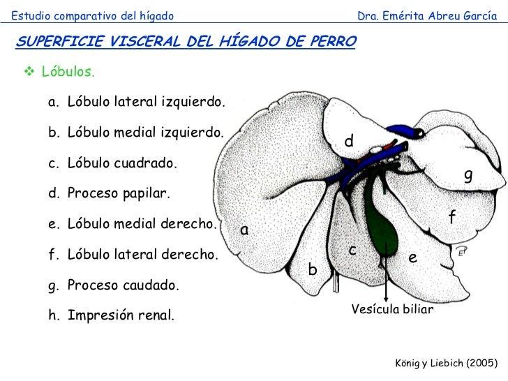 Excelente Anatomía Del Hígado De Perro Viñeta - Anatomía de Las ...