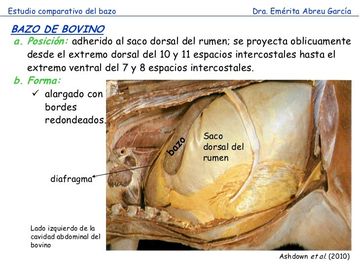 Hermosa Imagen De La Ubicación Del Bazo Festooning - Anatomía de Las ...