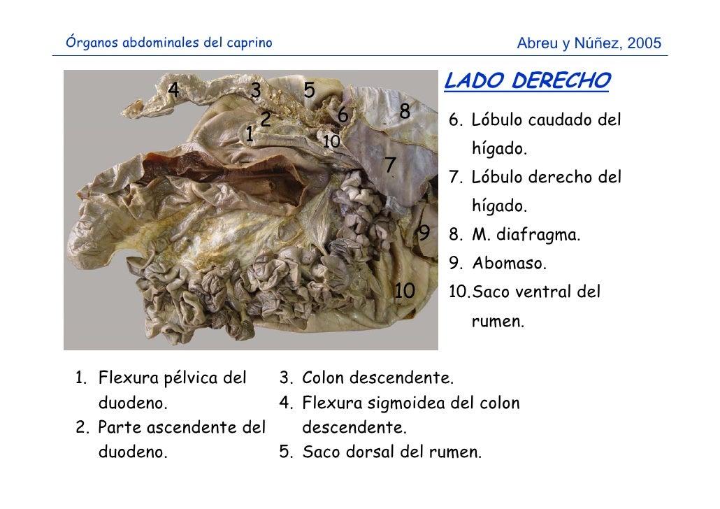 Pared y cavidad abdominal del caprino (reconocimiento)