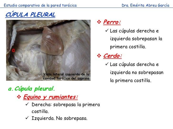 Estudio comparativo de la pared torácica                        Dra. Emérita Abreu GarcíaCÚPULA PLEURAL                   ...