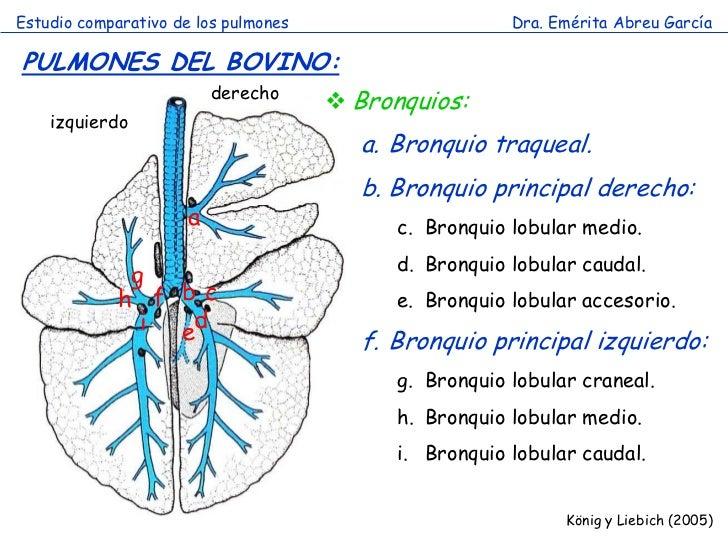 Estudio comparativo de los pulmones                     Dra. Emérita Abreu GarcíaPULMONES DEL BOVINO:                     ...