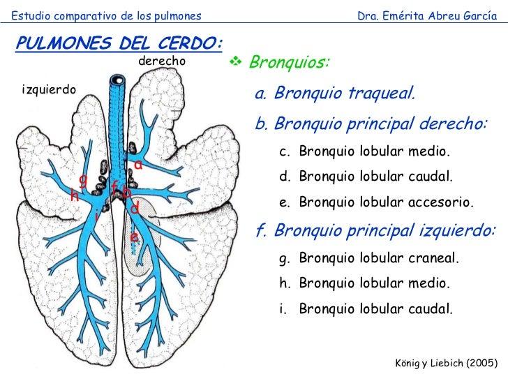 Estudio comparativo de los pulmones                     Dra. Emérita Abreu GarcíaPULMONES DEL CERDO:                      ...