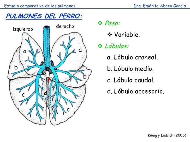 Estudio comparativo de los pulmones                        Dra. Emérita Abreu GarcíaPULMONES DEL PERRO:                   ...