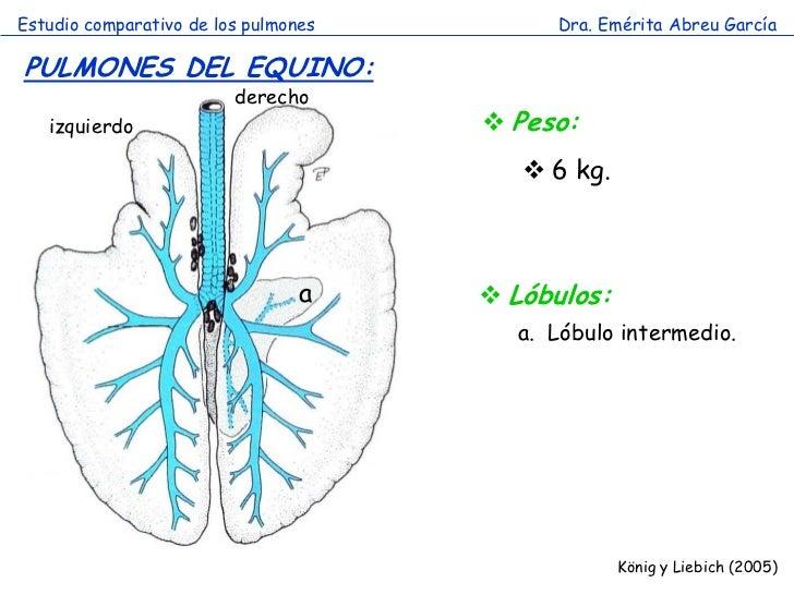 Excelente Anatomía Pulmonar Del Lóbulo Galería - Anatomía de Las ...