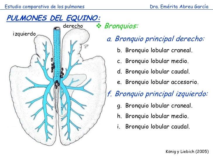 Estudio comparativo de los pulmones                     Dra. Emérita Abreu GarcíaPULMONES DEL EQUINO:                     ...