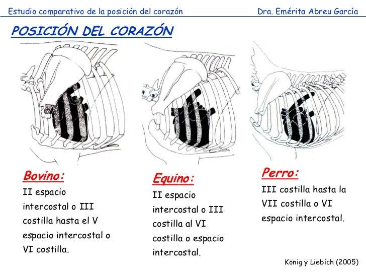 Estudio comparativo de la posición del corazón            Dra. Emérita Abreu GarcíaPOSICIÓN DEL CORAZÓN   Bovino:         ...