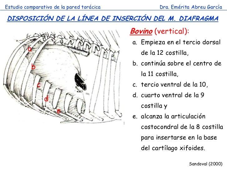 Estudio comparativo de la pared torácica             Dra. Emérita Abreu GarcíaDISPOSICIÓN DE LA LÍNEA DE INSERCIÓN DEL M. ...